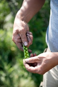 Peas in a pod in a man's hand