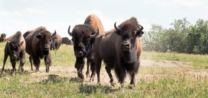 bison on farm