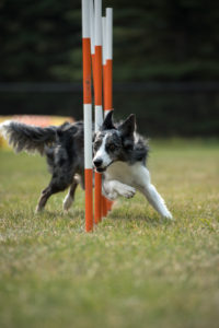 Dog agility training st albert