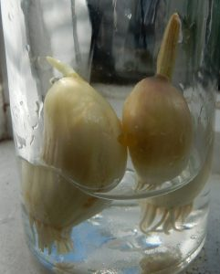 """""""Garlic Cloves"""""""